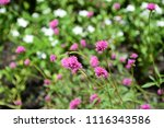 colorful cosmos flowers with...   Shutterstock . vector #1116343586
