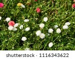 colorful cosmos flowers with...   Shutterstock . vector #1116343622