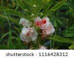 impatiens balsamina fruiting ... | Shutterstock . vector #1116428312