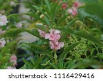 impatiens balsamina fruiting ... | Shutterstock . vector #1116429416
