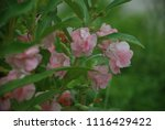 impatiens balsamina fruiting ... | Shutterstock . vector #1116429422