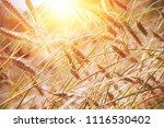grain in a farm field and sun   Shutterstock . vector #1116530402