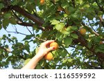beautiful young woman picking...   Shutterstock . vector #1116559592