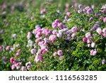 Stock photo pink tea hybrid rose in the garden gardening 1116563285