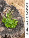 Boquet Four Leaf Clover At Stump