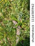 lizard sitting in the grass ...   Shutterstock . vector #1116585962