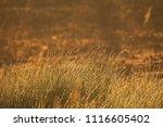 midsummer morning sunrise in... | Shutterstock . vector #1116605402