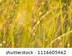 midsummer morning sunrise in... | Shutterstock . vector #1116605462