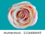 artificial fake flowers rose... | Shutterstock . vector #1116686645