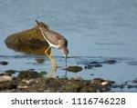 Lesser Yellowlegs on rocky shoreline