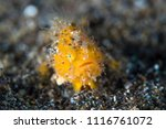 juvenile cute yellow baby hairy ... | Shutterstock . vector #1116761072