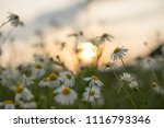 field of chamomiles flowers in... | Shutterstock . vector #1116793346