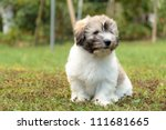 Little Coton De Tulear Dog In...
