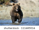 grizzly bear fishing in river.   Shutterstock . vector #111685016