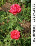 Small photo of two-tone color ROSE