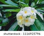 frangipani flower wet rain ... | Shutterstock . vector #1116925796