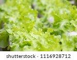 organic fresh hydroponic... | Shutterstock . vector #1116928712