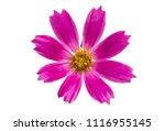 kosmeya flowers isolated on... | Shutterstock . vector #1116955145