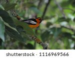 Small photo of Male Bullock's Oriole in Cottonwood Tree