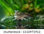 Atlantic Mudskipper ...
