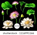 set of waterlily hand draw... | Shutterstock .eps vector #1116991166