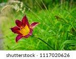 hemerocallis. a beautiful day... | Shutterstock . vector #1117020626