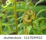 young fern. spiral shape of a... | Shutterstock . vector #1117039922