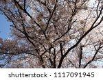 spring cherry blossom | Shutterstock . vector #1117091945