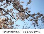 spring cherry blossom | Shutterstock . vector #1117091948