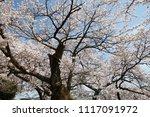 spring cherry blossom | Shutterstock . vector #1117091972