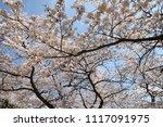 spring cherry blossom | Shutterstock . vector #1117091975