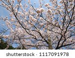 spring cherry blossom | Shutterstock . vector #1117091978