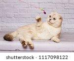 cat scottish straight light...   Shutterstock . vector #1117098122