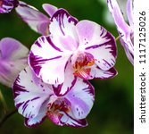 moth orchids flowers or... | Shutterstock . vector #1117125026