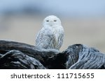 Snowy Owl At The Damon Point...