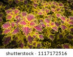 colorful leaves pattern of... | Shutterstock . vector #1117172516