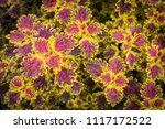 colorful leaves pattern of... | Shutterstock . vector #1117172522