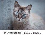 close up detail on blue cat... | Shutterstock . vector #1117215212