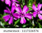 aubrieta   flowering plants in... | Shutterstock . vector #1117226576