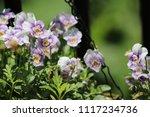 purple violet pansy flower... | Shutterstock . vector #1117234736
