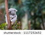 an australian koala bear... | Shutterstock . vector #1117252652
