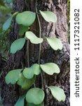 leaves of hoya kerrii craib or... | Shutterstock . vector #1117321082