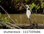 white heron egret  ardea alba ... | Shutterstock . vector #1117335686