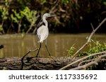 white heron egret  ardea alba ... | Shutterstock . vector #1117335692