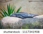 Black Lizard Sleeping On Stone...
