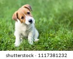 Stock photo funny dog puppy looking in the grass 1117381232