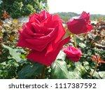 this hybrid tea rose is named... | Shutterstock . vector #1117387592