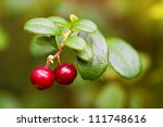 Cowberry closeup in nature - stock photo