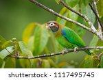brown hooded parrot ...   Shutterstock . vector #1117495745