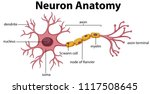 diagram of neuron anatomy ... | Shutterstock .eps vector #1117508645